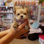 ミックス犬(マルヨーキー)020602)
