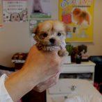 ミックス犬(マルヨーキー)020602s女の子